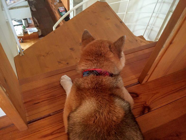 仕事場から台所を監視する柴男社長