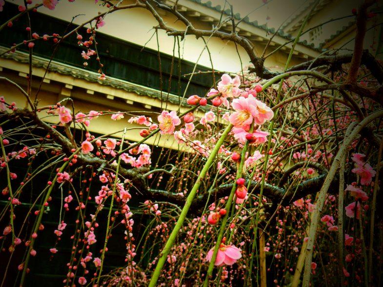 高知城のしだれ梅